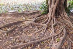 Banyan drzewa korzenie w parku zdjęcia royalty free