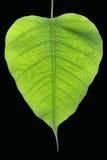 Banyan drzewa liść Fotografia Stock