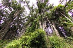 banyan drzewo Obrazy Stock