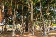 Banyan drzewo Zdjęcia Stock