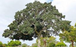 Banyan drzewo Obrazy Royalty Free