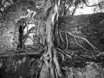 Banyan drzewo lub Ficus dusiciel figa na antycznych ruinach Etiopia, Afryka Obraz Stock