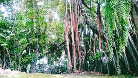 Banyan drzewo w Thailand Obraz Stock