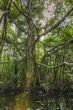 Banyan drzewo z słońce promienia odbiciem w watercourse Zdjęcie Royalty Free