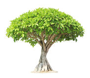 Banyan or ficus bonsai tree. Isolated on white background Royalty Free Stock Image