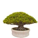 Banyan of ficusbonsaiboom Royalty-vrije Stock Foto