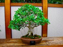 Banyan Fig Bonsai. Tree on display Stock Photos