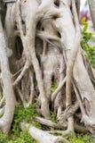 Banyan indio Imagen de archivo