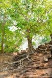 Banyan indio en las ruinas de Angkor Imagenes de archivo