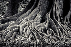 Banyan intertwining and interlaced roots detail and background Stock Images