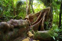 Banyan japonés (microcarpa del Ficus) Fotografía de archivo libre de regalías