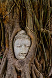 banyan kierowniczy michaelita drzewo Obraz Royalty Free