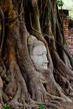 banyan kierowniczy michaelita drzewo Zdjęcie Royalty Free