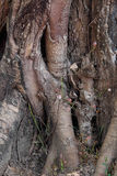 Banyan korzenie Fotografia Stock
