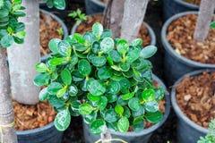 Banyan leaf Royalty Free Stock Photos