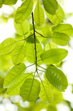 Banyan leaves Royalty Free Stock Images