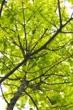 Banyan leaves Stock Photos
