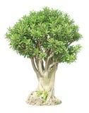 Banyan lub ficus bonsai drzewo Obrazy Royalty Free