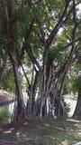 Banyan royalty free stock image