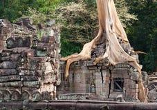 Banyan que arraiga en las piedras de Angkor Imagenes de archivo