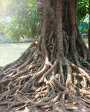 Banyan root, big tree root Royalty Free Stock Photo
