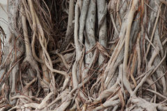 Banyan  root Stock Photo