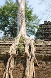 Banyan rooting in Angkor Stock Image