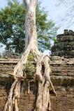 Banyan rooting in Angkor. Banyan rooting just in stones of ancient Angkor Stock Image