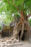 Banyan rooting in Angkor. Banyan rooting in stones of eastern gate of Ta Som temple, Angkor Stock Images