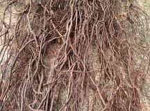 Banyan roots Royalty Free Stock Image