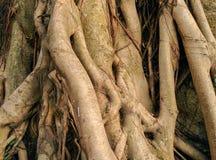 Banyan roots Stock Photo