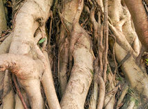 Banyan roots Stock Photo