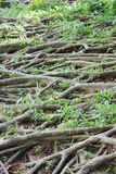 Banyan roots with grass Royalty Free Stock Images
