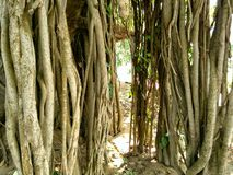 Banyan roots Royalty Free Stock Photos