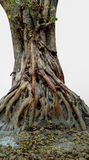 Banyan roots Stock Photography