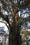 Banyan sagrado foto de archivo libre de regalías