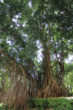 Banyan with sunshine Royalty Free Stock Photography