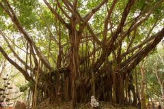 Banyan. In Tample Nan Thailand Stock Photo