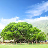 Banyan tree. In the park stock photography