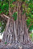 Banyan tree. Moraceae family,high about 20 metre,have a brown shell Stock Image