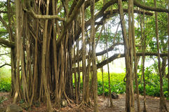 Banyan Tree. Closeup of a beautiful banyan tree with roots going into the ground stock photography