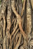 Banyan Tree. Closeup of banyan tree roots with names and things people carved into it stock images