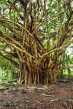 Banyan tree. Big banyan tree in the tropical forest royalty free stock photography