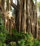 Banyan tree Royalty Free Stock Image