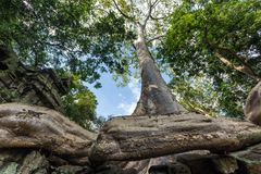 Banyan tree Royalty Free Stock Photography
