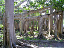 Banyan Tree. Sprawling banyan tree, largest in North America, located at the Edison/Ford Winter Estates, Fort Meyers, Florida royalty free stock photo