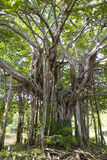 Banyan Tree. A banyan tree in the tropics with roots above ground royalty free stock image