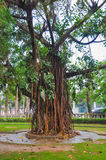 Banyan Tree and aerial root Royalty Free Stock Photos