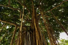 Banyan Tree. A Banyan Tree along Waikiki Beach royalty free stock photo