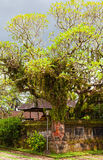 banyan tree with the ancient temple Stock Photo